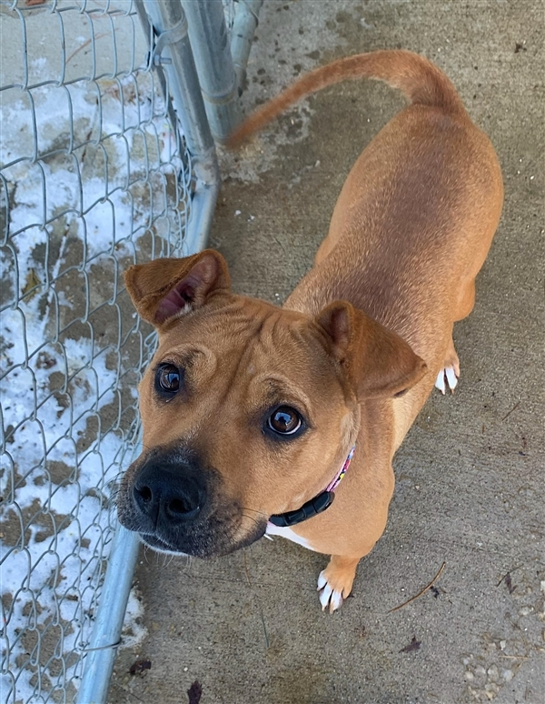Dasha, an adoptable Boxer & Hound Mix in Louisville, KY