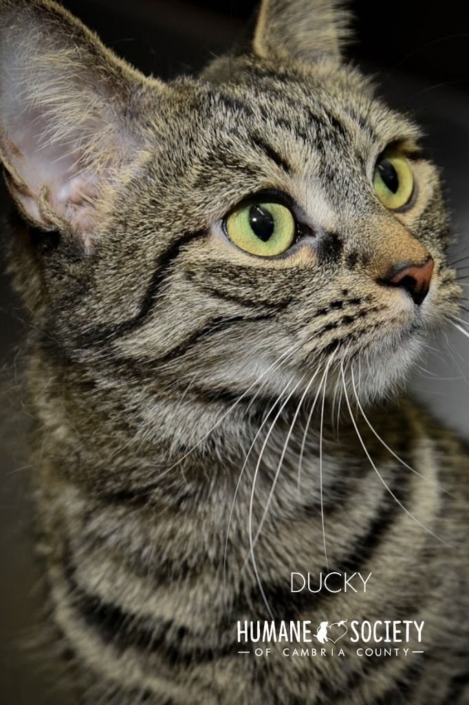 Ducky, an adoptable Domestic Short Hair in Johnstown, PA