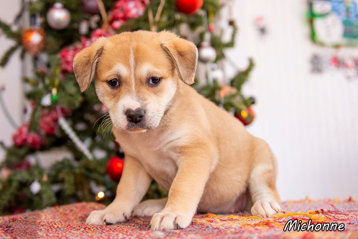 Michonne, an adopted Terrier & Labrador Retriever Mix in Omaha, NE