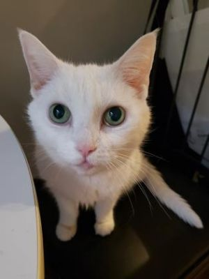 Maddie is a beauty with stunning green eyes and soft white fur Shes incredibly sweet calm and eas