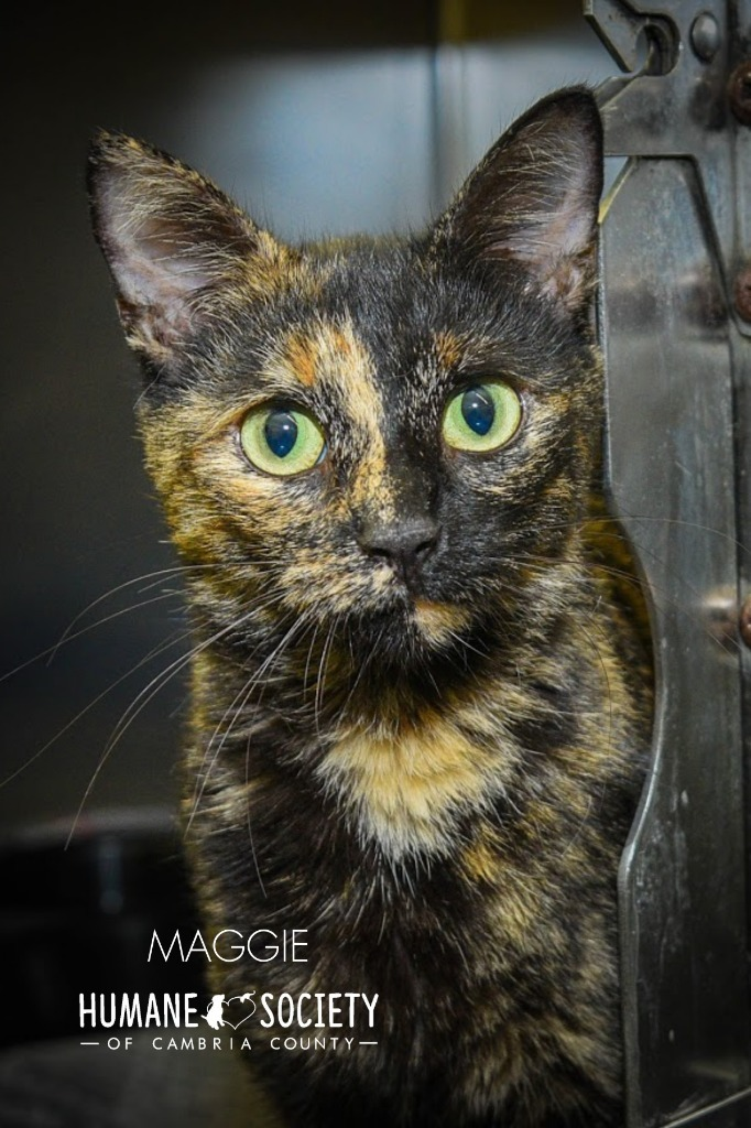 Maggie, an adoptable Domestic Short Hair in Johnstown, PA