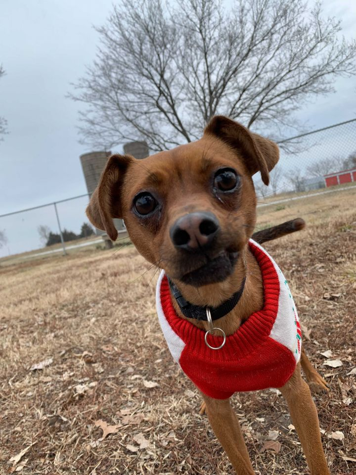 Ava, an adopted Chihuahua Mix in Ottawa, KS