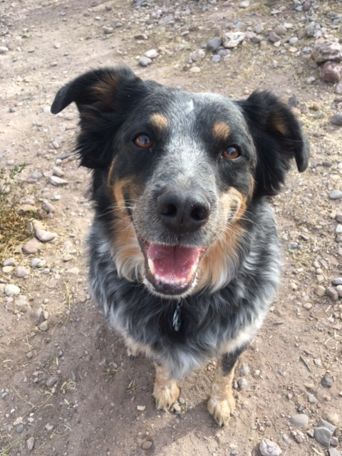 Bubba, an adoptable Australian Cattle Dog / Blue Heeler & Catahoula Leopard Dog Mix in Williamsburg, NM