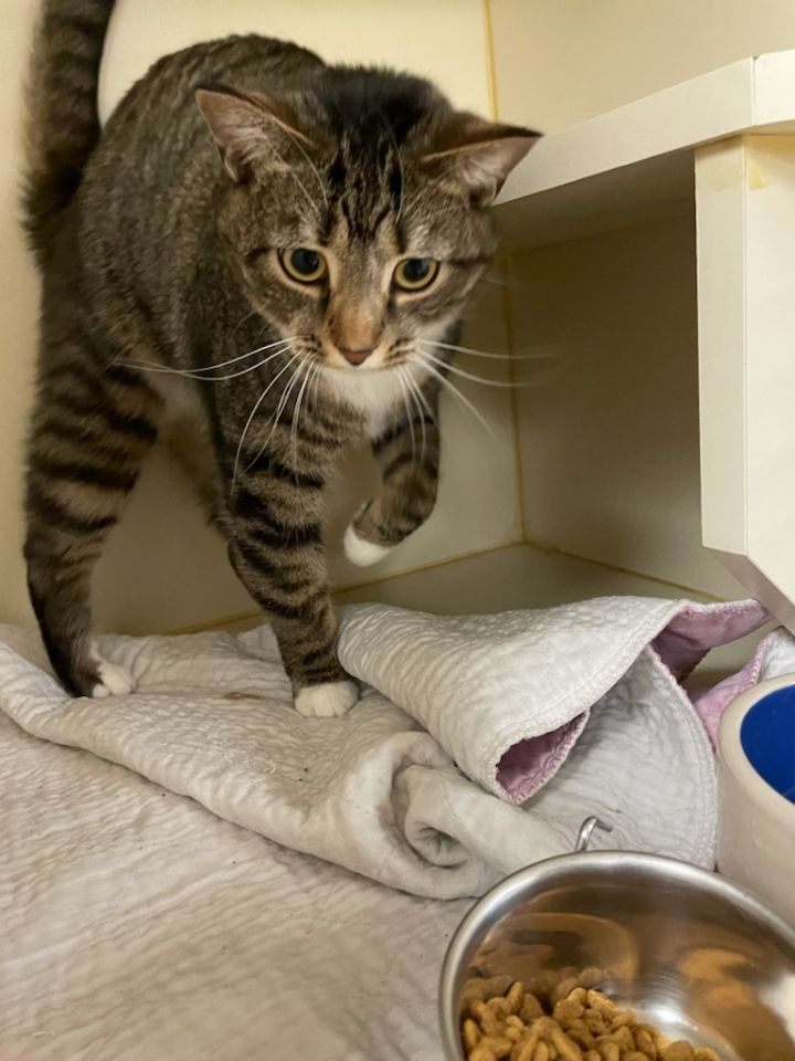 Tigger, an adoptable Domestic Short Hair in Myerstown, PA