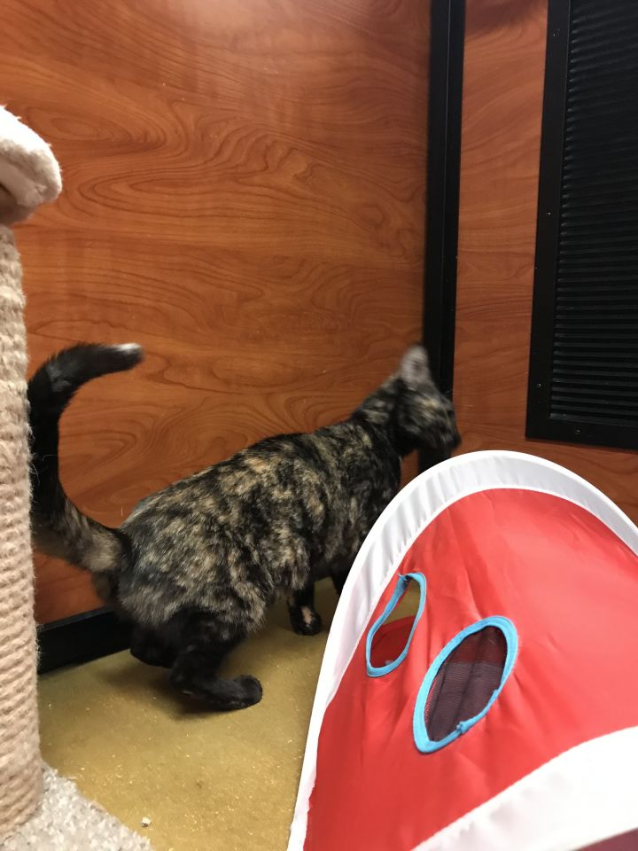 Ingrid, an adoptable Domestic Short Hair in Fort Lauderdale, FL