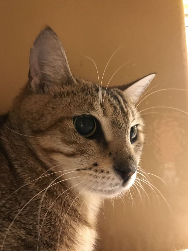 Jackie, an adoptable Domestic Short Hair in Pompano Beach, FL
