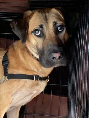 Indy Bloodhound Dog