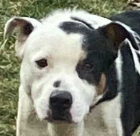 Patch is a one year-old Heeler mix looking for a forever home He has medium len