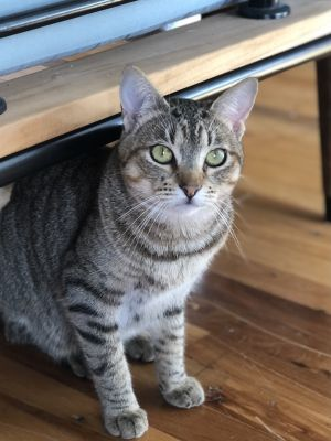 Zippy is a sweet adult cat She loves to play and snuggle on her foster persons