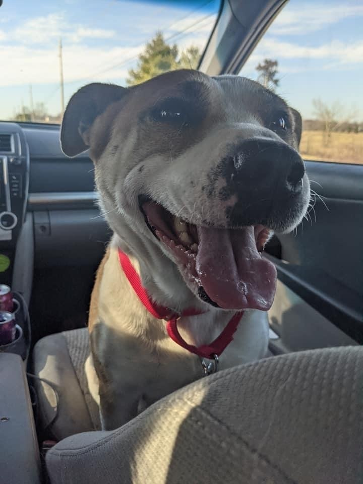 Tulip, an adoptable American Bulldog Mix in Springfield, MO