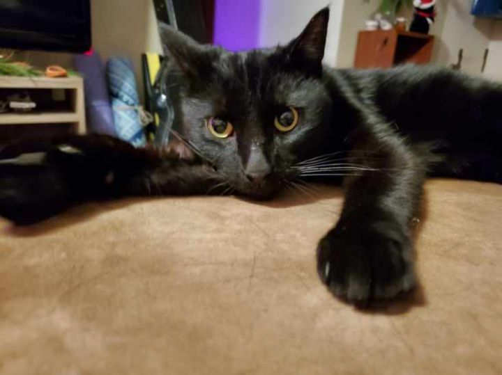 Ferrell, an adoptable Domestic Short Hair in Minneapolis, MN