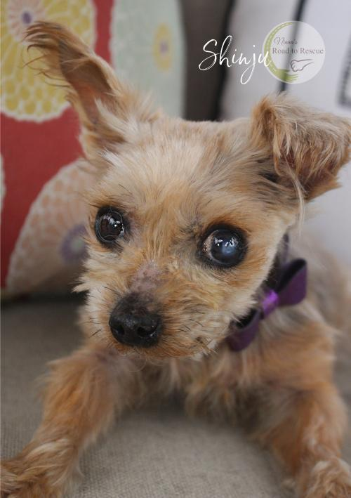 Shinju, an adoptable Yorkshire Terrier in Benton, LA