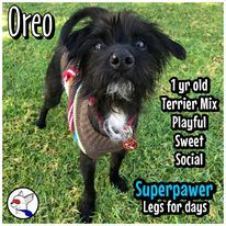 Oreo, an adoptable Terrier Mix in Glendora, CA