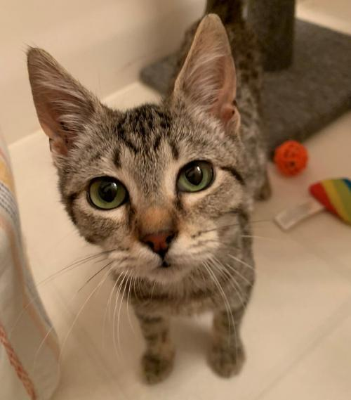Joey King, an adoptable Domestic Short Hair Mix in Redmond, WA