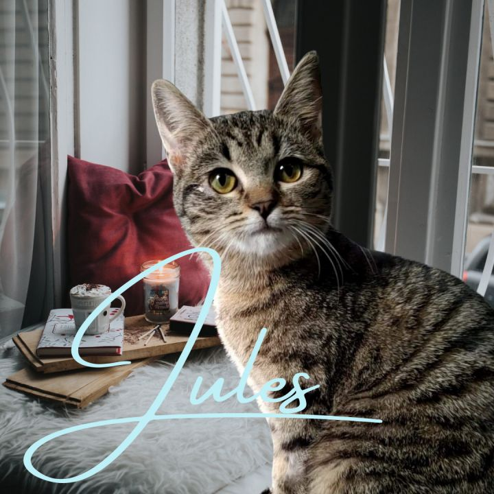 Jules, an adoptable Domestic Short Hair in Fayetteville, NC