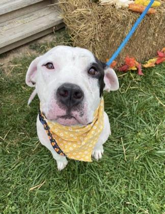 Watson, an adoptable Pit Bull Terrier Mix in Clarks Summit, PA