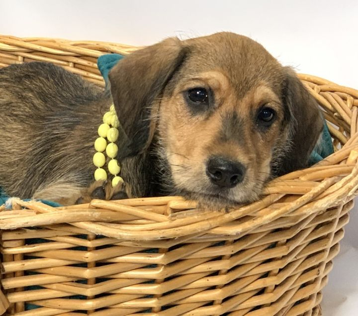 Willow, an adoptable Beagle & Terrier Mix in Barnesville, GA
