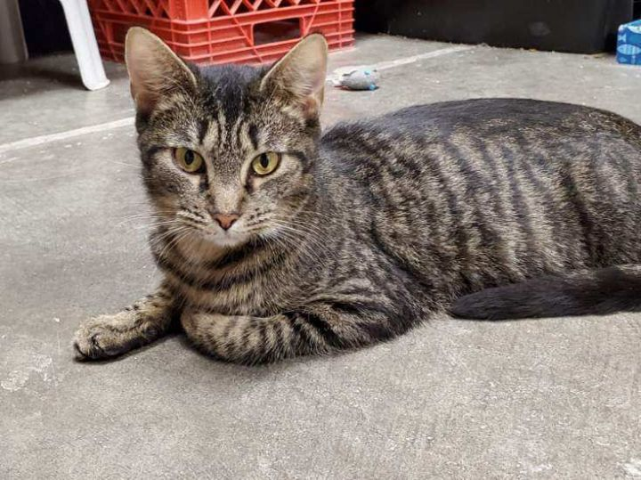 Katrina, an adoptable Domestic Short Hair in Waynesburg, PA