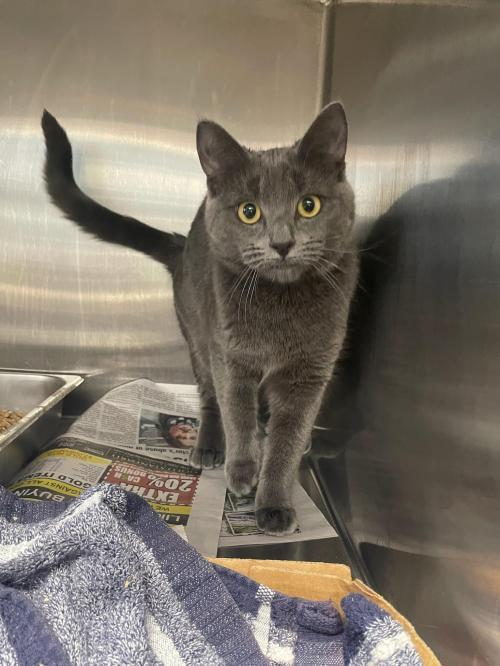 Sterling, an adopted Domestic Short Hair Mix in Bridgewater, NJ
