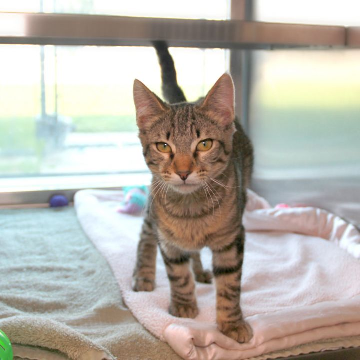Champagne, an adopted Domestic Short Hair Mix in Clovis, CA
