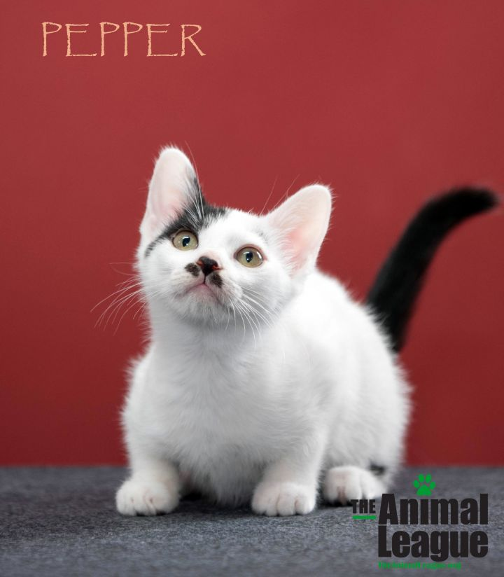 Pepper, an adoptable Domestic Short Hair Mix in Clermont, FL