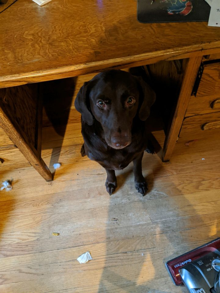 Lulu, an adopted Chocolate Labrador Retriever in Hainesville, IL