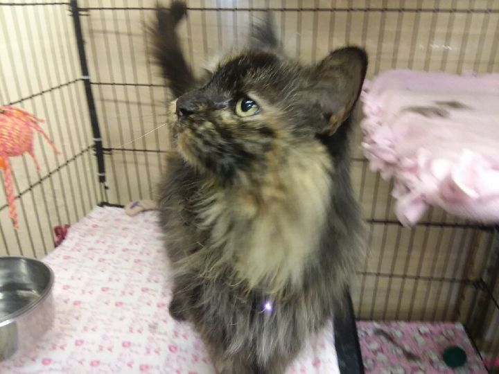 Savannah, an adopted Tortoiseshell in Louisville, KY