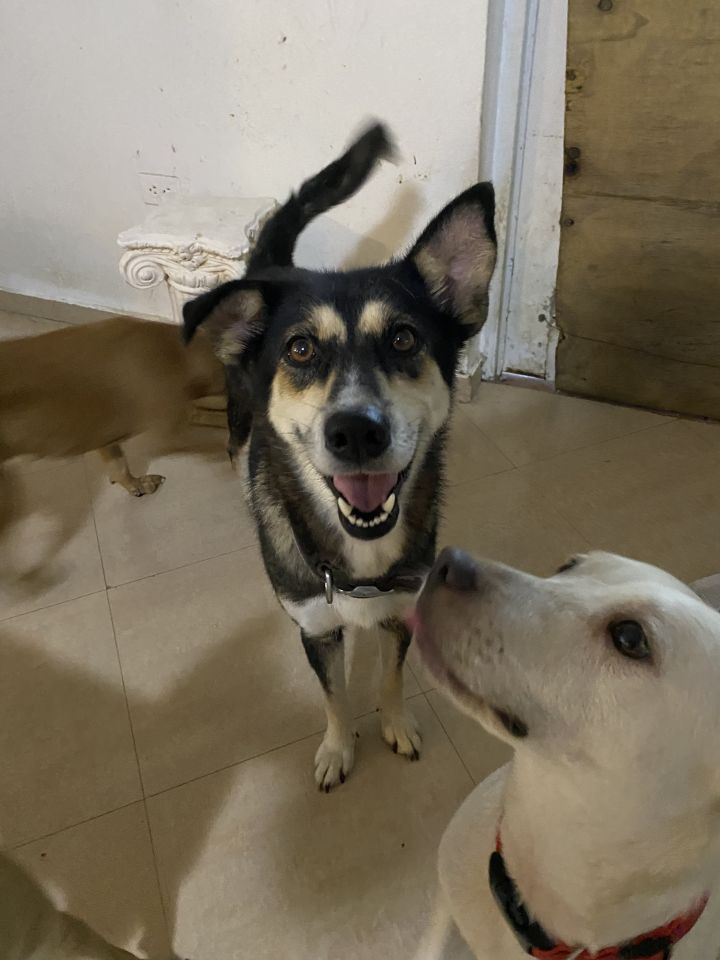 Moana, an adoptable Husky Mix in Loiza, PR