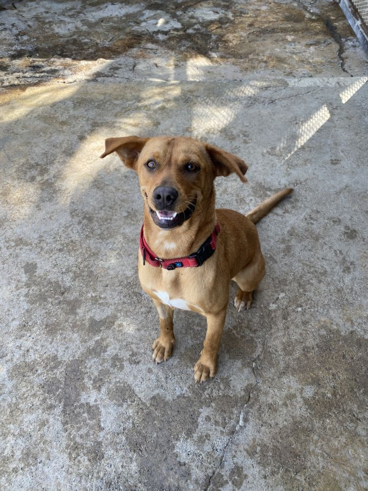 Ruby, an adopted Labrador Retriever Mix in Loiza, PR