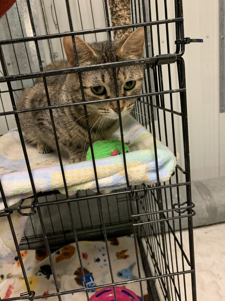Lyla, an adoptable Tabby in Highland, IN