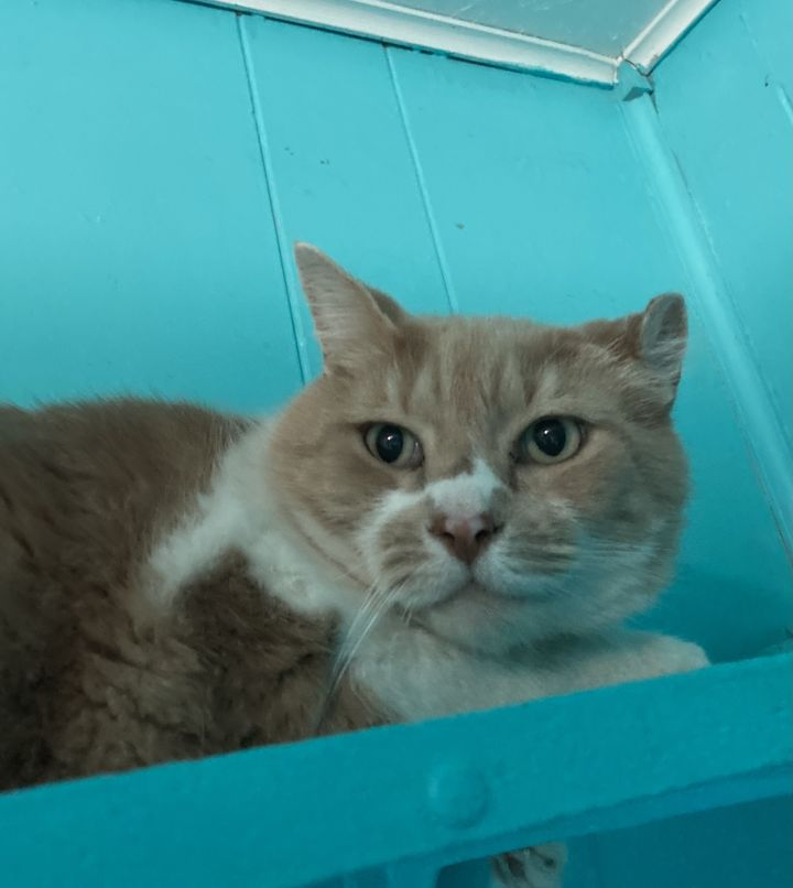 Rocky, an adoptable Domestic Short Hair in Spencer, IN