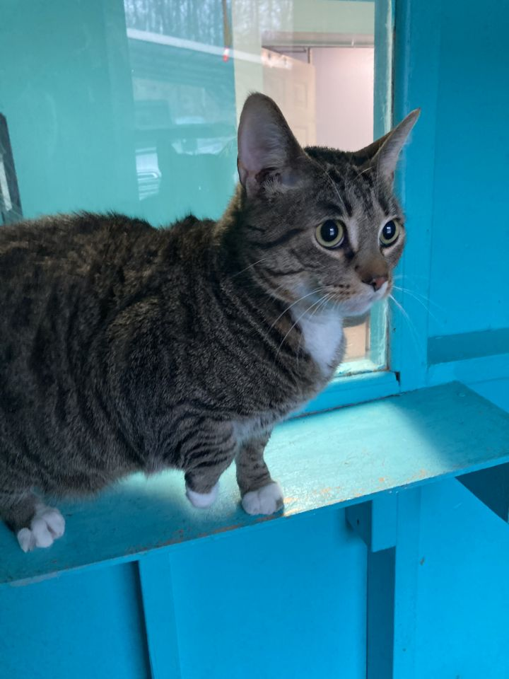Nelly, an adoptable Domestic Short Hair in Spencer, IN