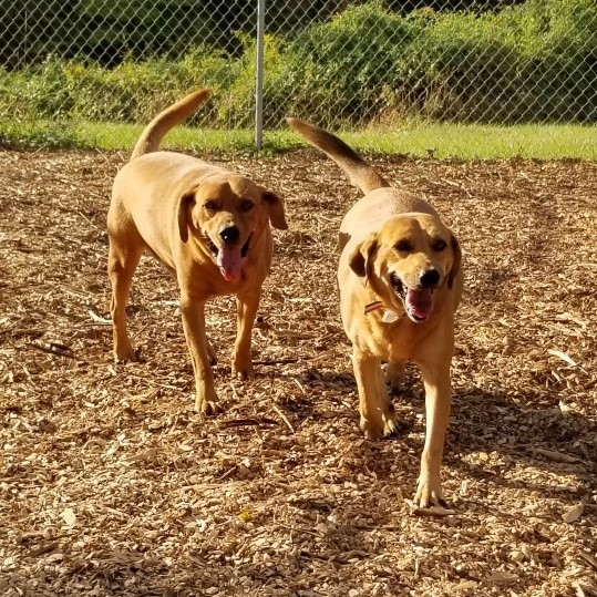 Duke (and Daisy), an adoptable Labrador Retriever Mix in Ringwood, NJ