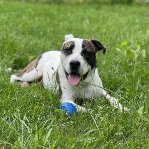 Ferris is estimated to be between 1-2 years old He LOVES other dogs- so a home