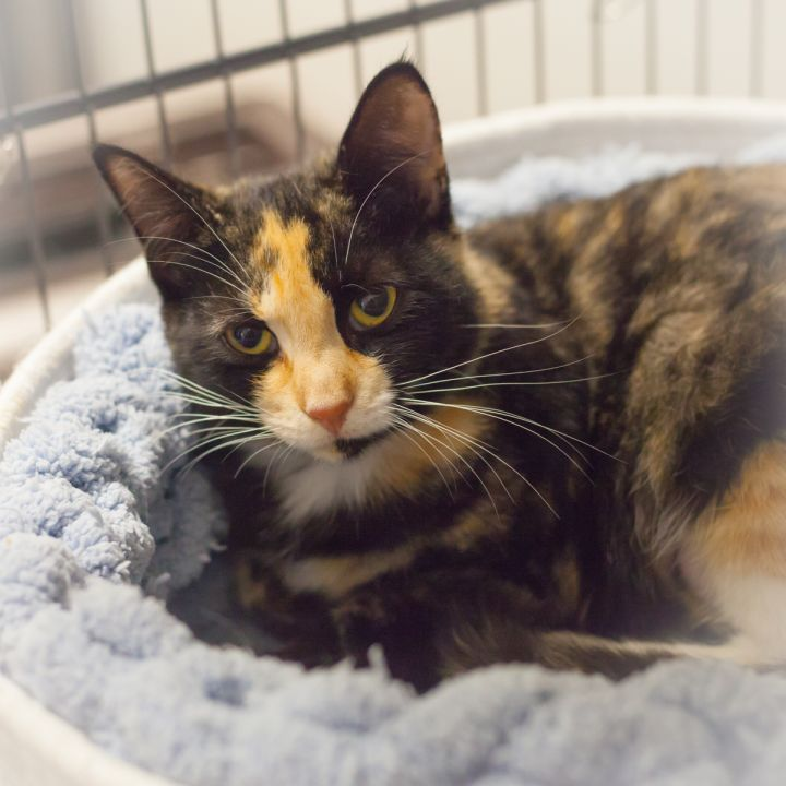 Bryana, an adoptable Calico in Ponte Vedra, FL