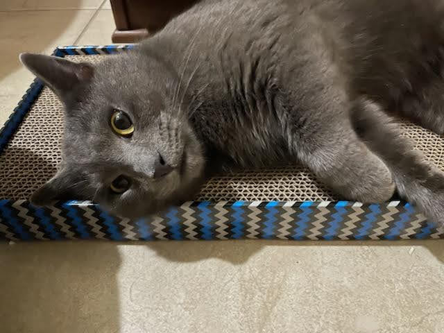 Gandalf, an adopted Russian Blue in Ponte Vedra, FL