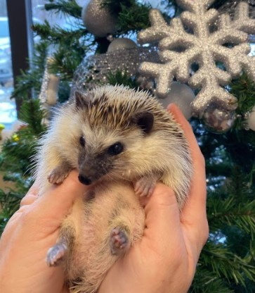 Edamame, an adoptable Hedgehog in Saint Paul, MN