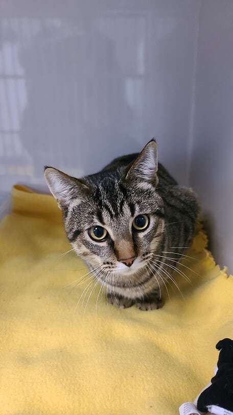 Benji, an adopted Tabby & Domestic Short Hair Mix in Monroe, MI