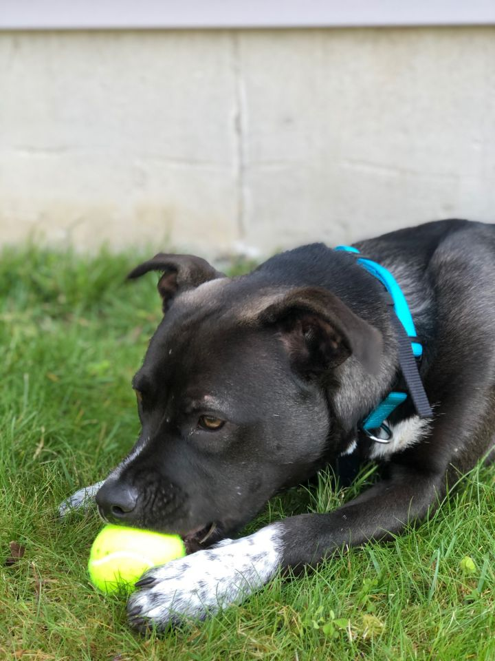 Margie, an adoptable Boxer & Pit Bull Terrier Mix in Darien, CT
