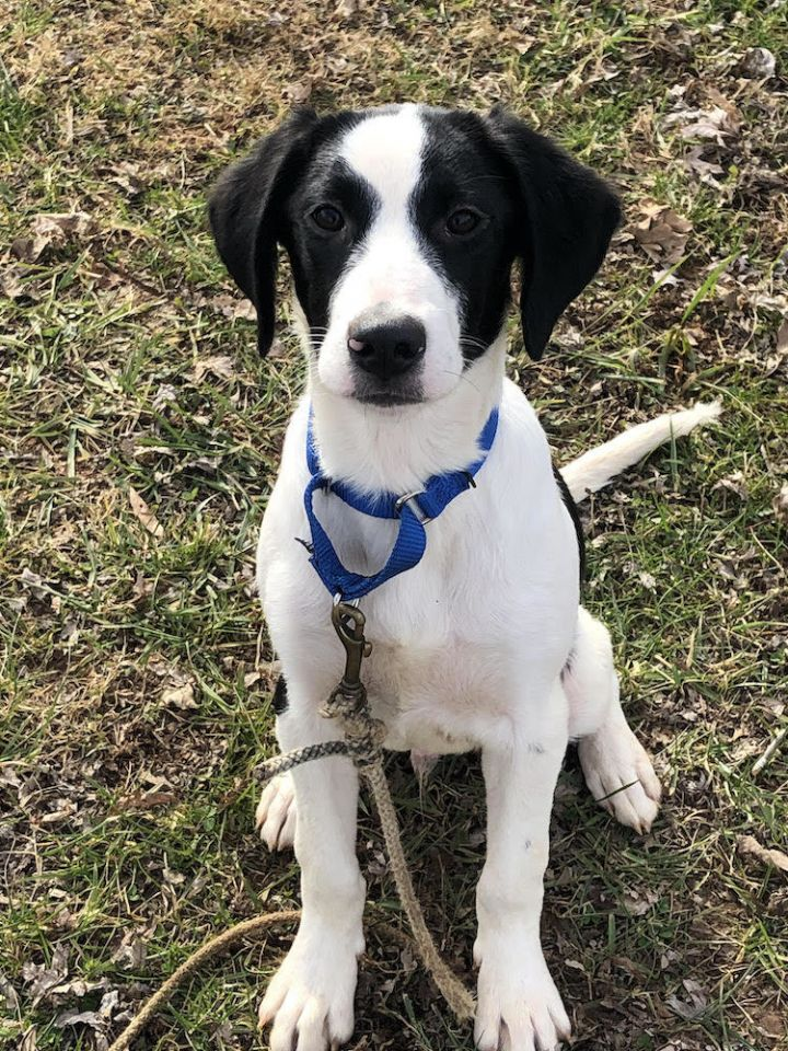 RC, an adoptable Border Collie & Setter Mix in Bedford, VA