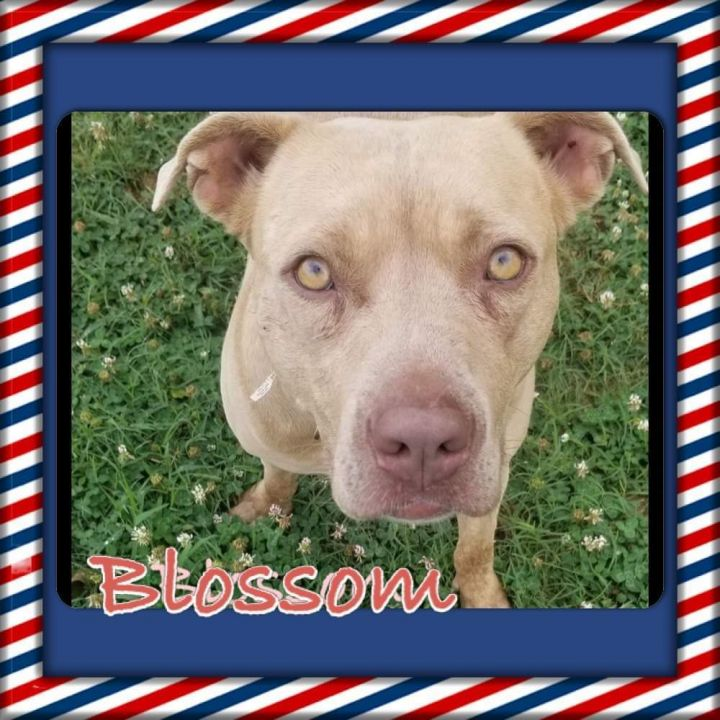 Blossom, an adoptable Pit Bull Terrier Mix in Tunica, MS