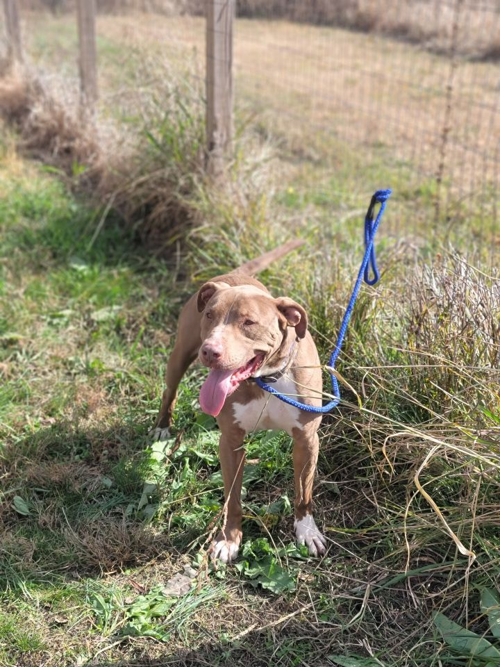 CC, an adoptable Pit Bull Terrier Mix in Tunica, MS