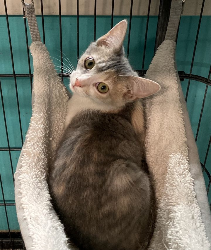 Allie, an adopted Domestic Short Hair in Spencer, IN