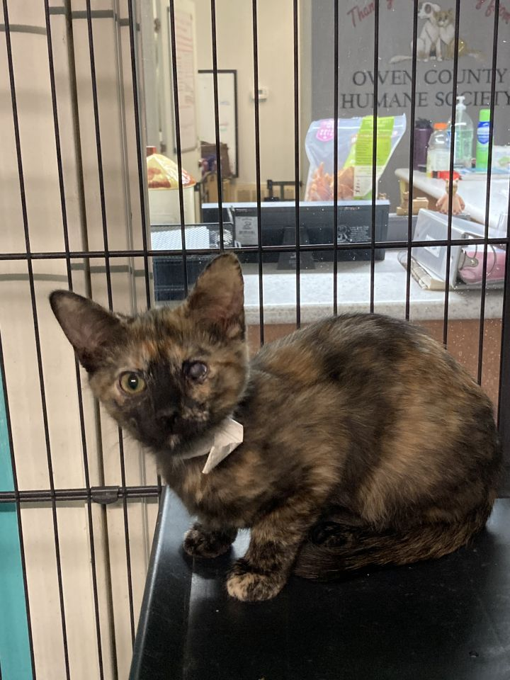 Eve, an adoptable Domestic Short Hair in Spencer, IN