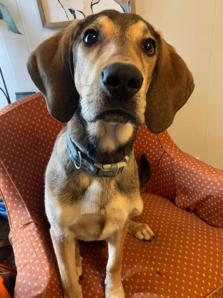 "Barky ""Bark"" Wahlberg, an adopted Coonhound Mix in Cincinnati, OH"