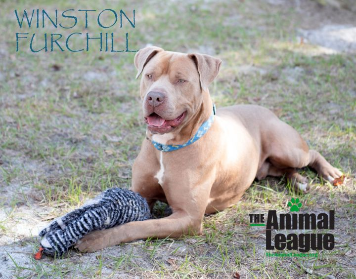 Winston Furchill, an adoptable Pit Bull Terrier Mix in Clermont, FL