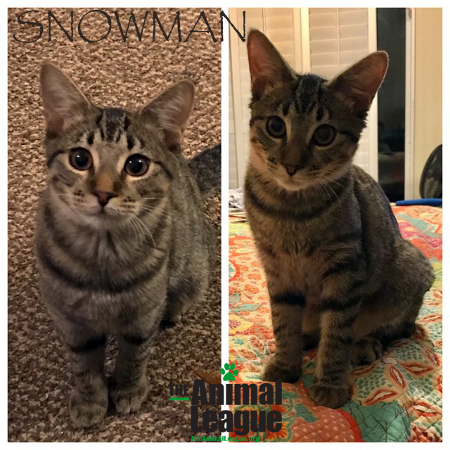 Snowman, an adoptable Domestic Short Hair Mix in Clermont, FL