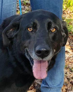 Lanie Labrador Retriever Dog