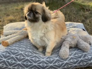 APPLICATIONS CLOSED  Puppy Fluffy is a delightful 4 yr old Pekingese We think he is younger Pup