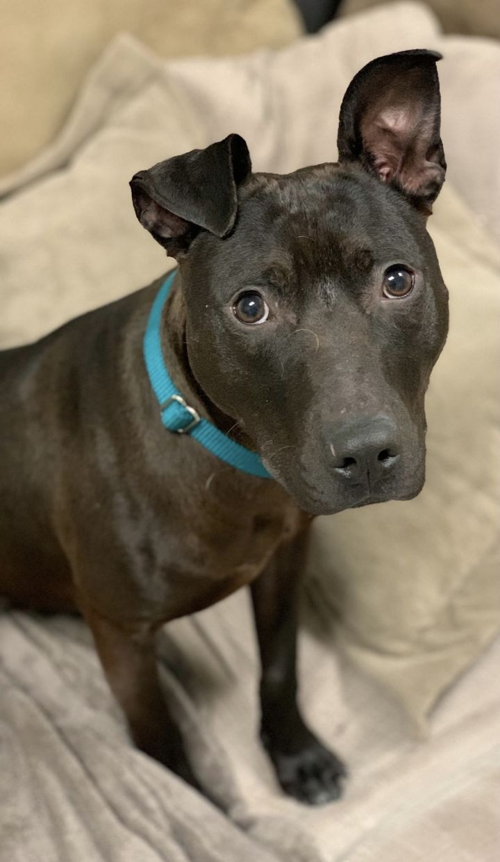 Dutch, an adoptable Pit Bull Terrier in Medford, NY